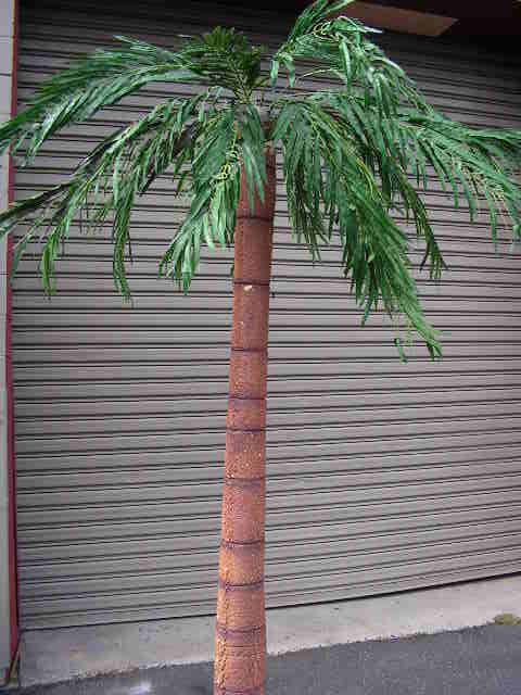 Palm Tree x 6 - 2.4 to 3m high