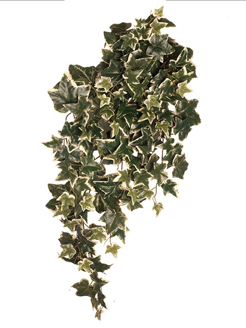GRE0057 GREENERY, Ivy - Holland Ivy Hanging Bush 72cm $3.75