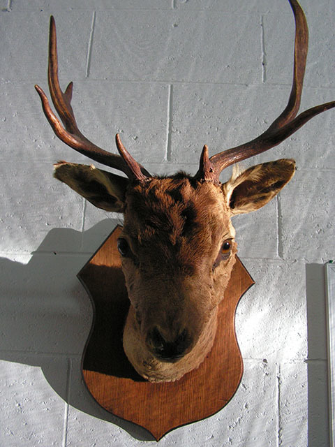 TAX0004 TAXIDERMY, Deer with Antlers $87.50