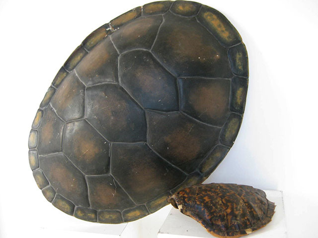 TUR0003 TURTLE SHELL, 75cm (Fibreglass) $68.75