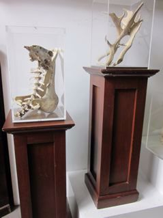 Wooden plinths with perspex display case & exhibit