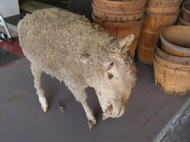 TAX0006 TAXIDERMY, Sheep (Roadkill) $112.50