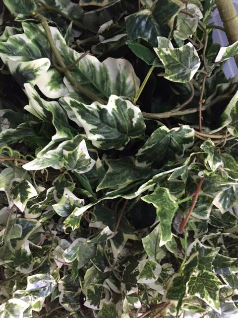 GRE0012 GREENERY, Variegated Vines - Box Lot (65 x 45 x 40cm H) $50