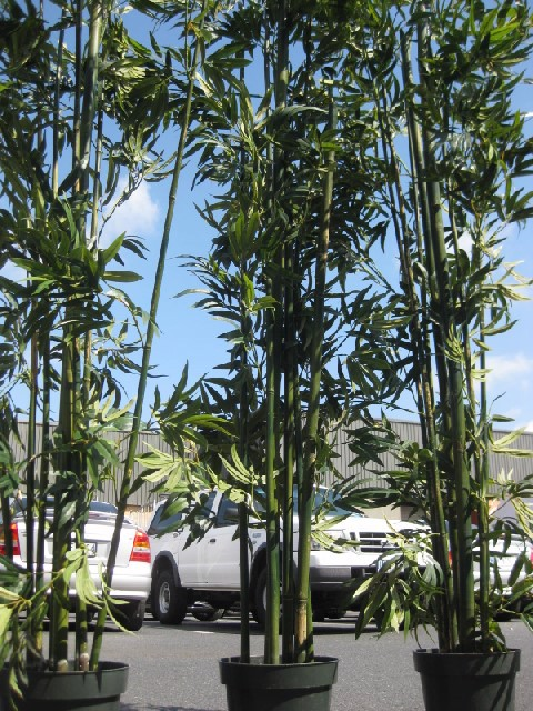 GRE0001 GREENERY, 2.3m H Bamboo Palm (Realistic) - Potted $45