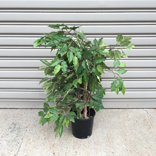 GRE0048 GREENERY, Ficus 60 - 80cm H (Realistic) - Potted $22.50