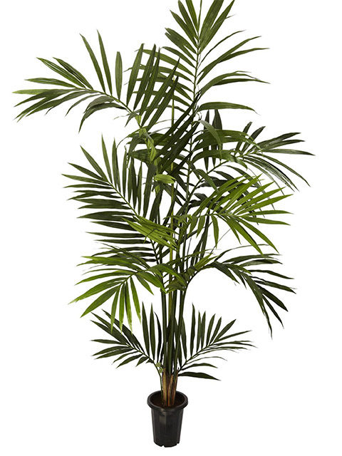 GRE0002 GREENERY, 1.8m H Kentia Palm (Realistic) - Potted $45