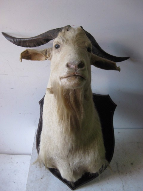 TAX0002 TAXIDERMY, Goat Head White on Wooden Plaque $87.50