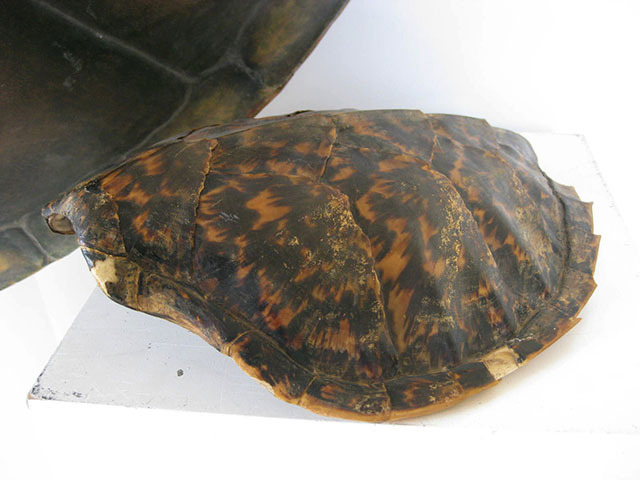 TUR0002 TURTLE SHELL, 32cm (Real) $37.50