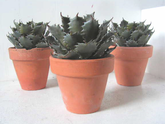 CAC0006 CACTUS, Small in Terracotta Pot - Assorted $10