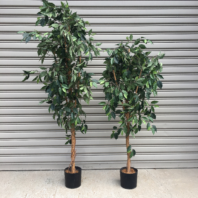 GRE0047 GREENERY, Ficus 1.5m - 1.8m H (Realistic) - Potted $37.50