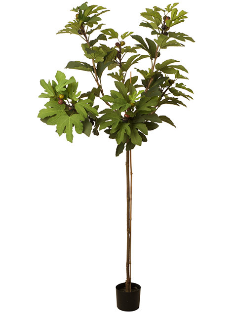 GRE0062 GREENERY, Fig Tree in Pot 1.8m H $45