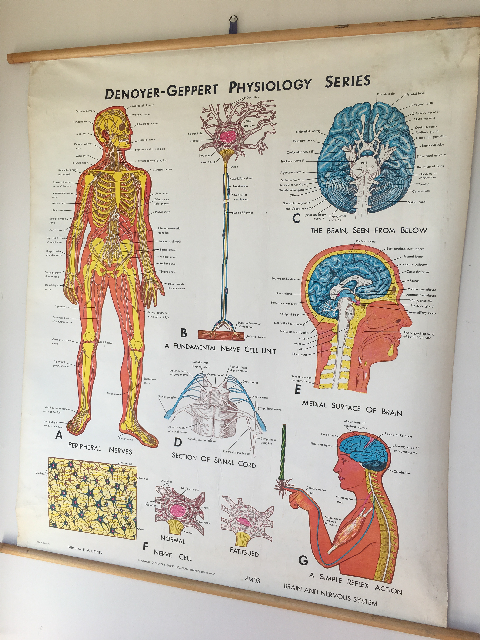 POS0014 POSTER, Anatomical Chart - 1960's Denoyer Geppart Physiology Series (Nervous System) $37.50