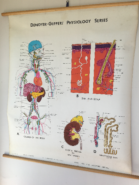 POS0015 POSTER, Anatomical Chart - 1960's Denoyer Geppart Physiology Series (Excretory System) $37.50