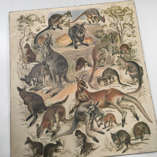 POS0008 POSTER, Australian Fauna Print On Chipboard $6.25