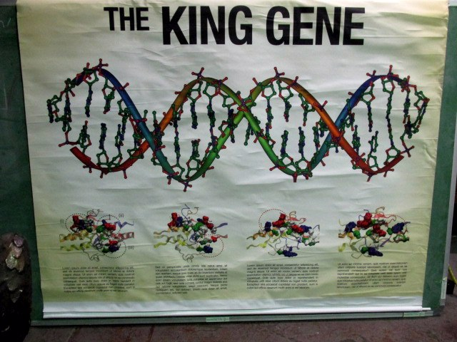 MAP0006 MAP ROLL, King Gene DNA 1.5m x 1.2m $30
